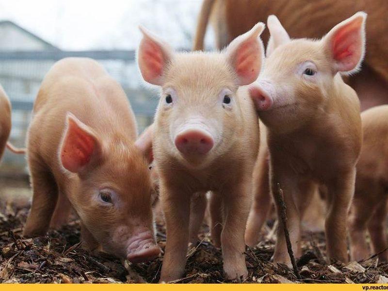 ВКрасноярске отменен карантин поафриканской чуме свиней