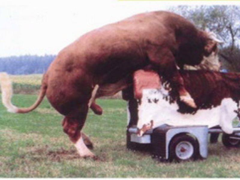 Пизда коровы и свиньи фото