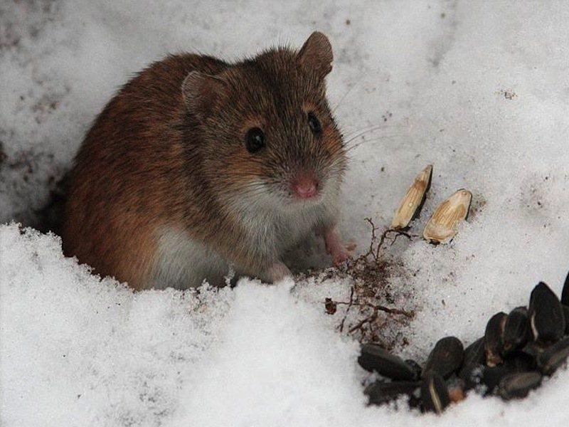 Картинки мышей зимой
