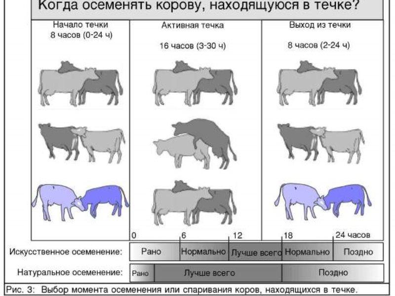 Натуральное осеменение коров