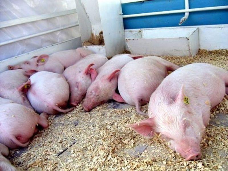 ВЗыково сожгли неменее полутора тыс. свиней ипобедили чуму